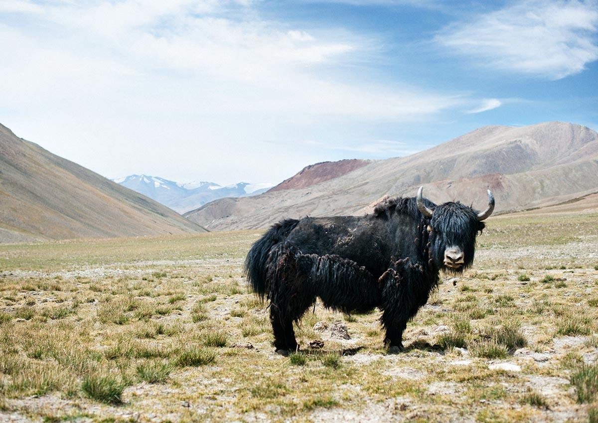 Pangu Nagu, Ladakh, India